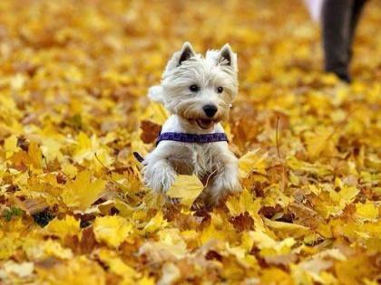 westie-autumn.jpg