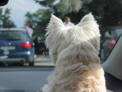 westie-on-dashboard.JPG