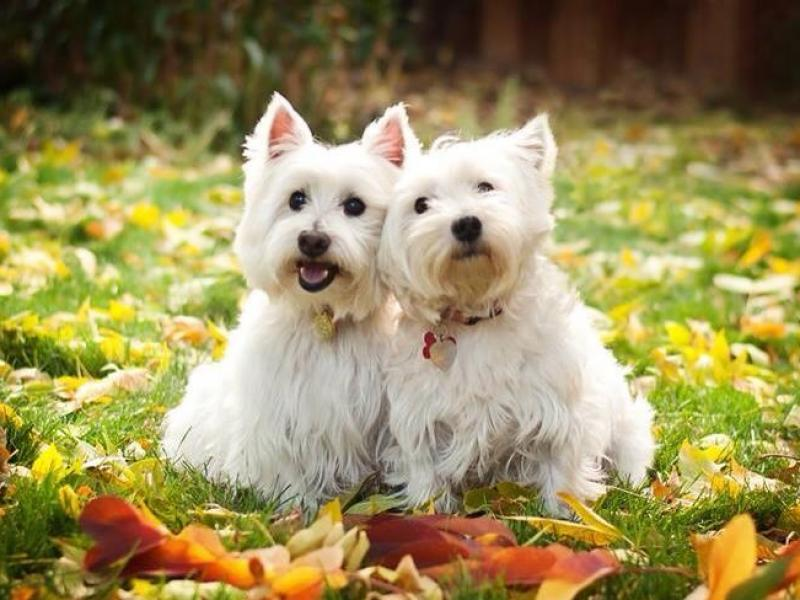 westie-love-in-autumn.jpg